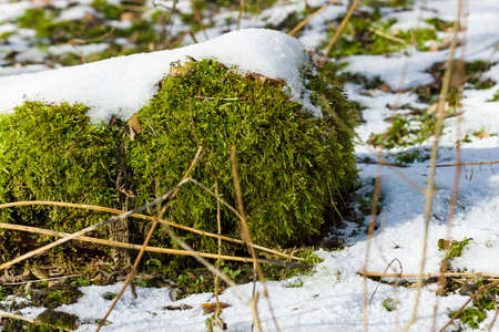 thawed: Spring. Snow thawed patches. Green moss close up.