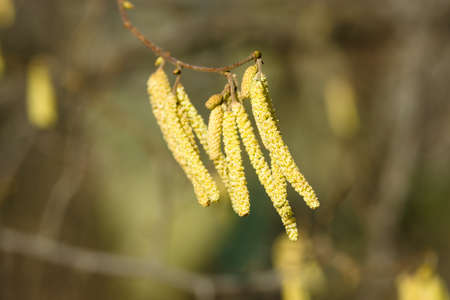macroscopic: Spring. Catkins on the trees. Stock Photo