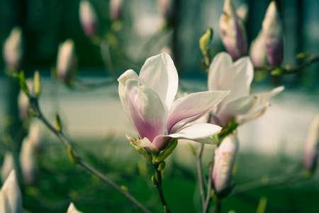 Flowering Magnolia. Stylization. Vintage toning. photo