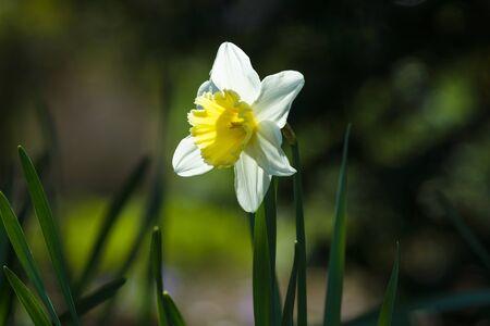 daffodils: Golden Daffodils