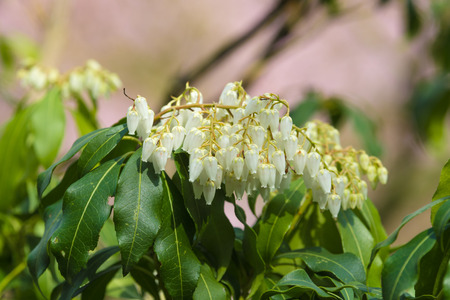 pieris: Flowering Pieris japonica (Japanese andromeda)
