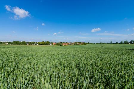 winter wheat: Winter wheat field. Rural landscape.