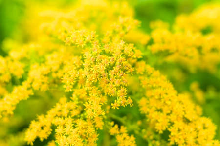 goldenrod: Flowering Solidago gigantea. Background. Focus on the center. Stock Photo