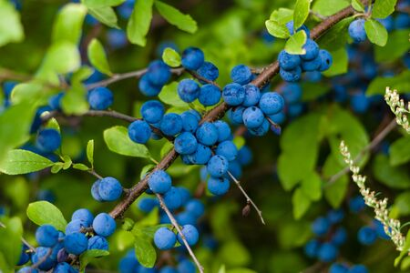 The fruits of blackthorn (Prunus spinosa)