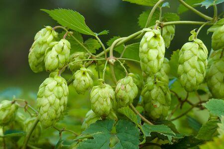 humulus: Fruits of hops (Humulus).