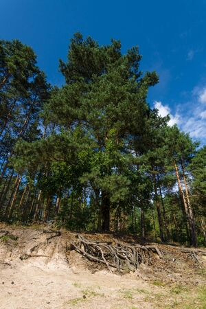 protrude: Pine on a hillside. Roots protrude from the ground. Stock Photo