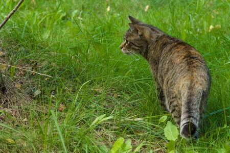 housecat: Housecat walking across the field.