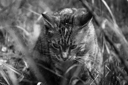 housecat: Housecat walking across the field. Black and white. Stock Photo