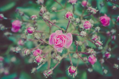 pastel shades: Flowers shrub roses closeup. Toning. Pastel shades.