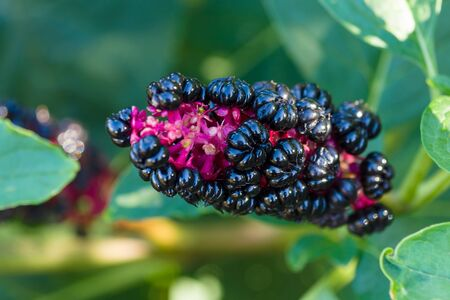 poke: Phytolacca acinosa foliage and fruit Stock Photo