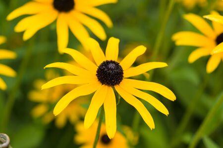 coneflowers: Yellow flower. Rudbeckia fulgida sullivantii Goldsturm