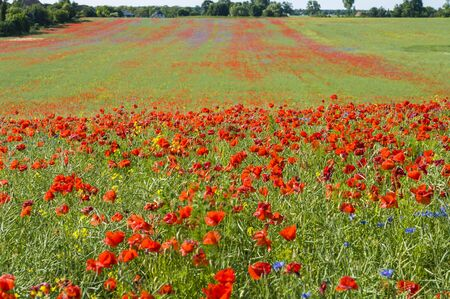 foreground: A field of poppies. Focus on the foreground.