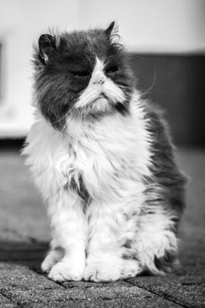 Dirty and sick homeless cat Persian breed. Black and white. Stock Photo