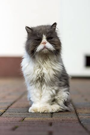 Dirty and sick homeless cat Persian breed. Stock Photo