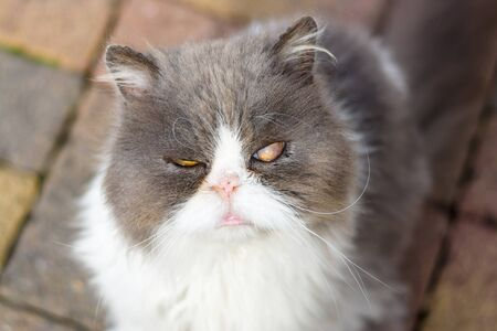 Dirty and sick homeless cat Persian breed. Close-up.