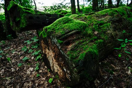 Old tree trunks covered with moss. Stock Photo