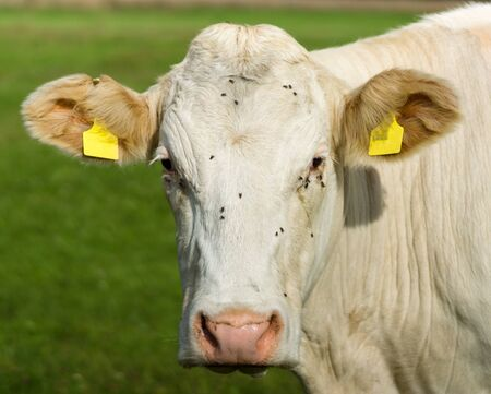 The head of a cow is close-up.