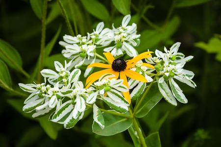 Flower of Rudbeckia and Euphorbia marginata in the garden, close-up.