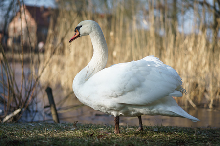 A large white swan (Cygnus olor) sits on the shore of a pond. Stock Photo