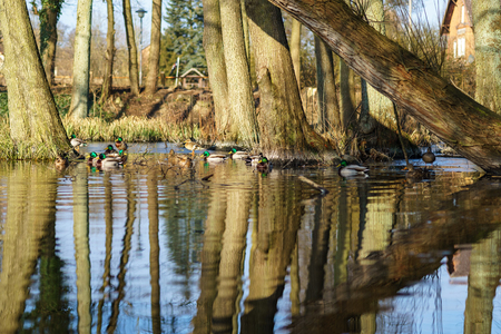 A flock of ducks on the pond. Reflected trees in the water. Stock Photo