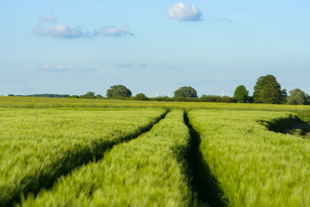 Spring rye field. Agricultural grounds. Sunny day. Stock Photo