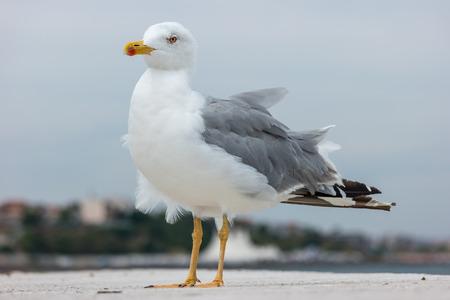 A large seagull on a concrete pier close up.