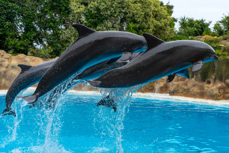 A group of Atlantic bottlenose dolphins (Tursiops truncatus) make a jump out of the water. Stock Photo