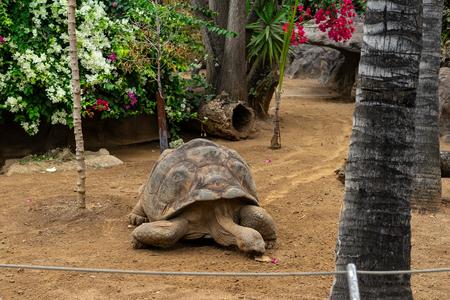 Galapagos giant tortoise (Cheloponoidis elephantopus) is crawling on the ground. Imagens