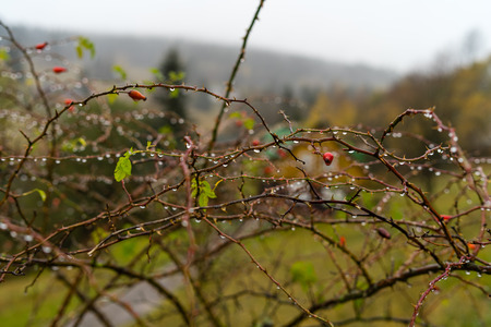 Branches of wild rose with berries without foliage in drops of water. Standard-Bild - 117490243