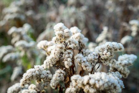 Trockene Stängel von Solidago virgaurea mit Raureif bedeckt. Der erste Frost.