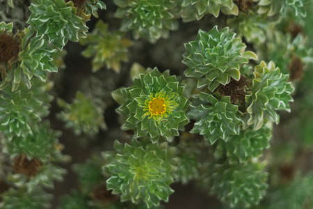 Aeonium plant as background. Shallow depth of field. Focus on the center. Tenerife. Canary Islands. Spain.
