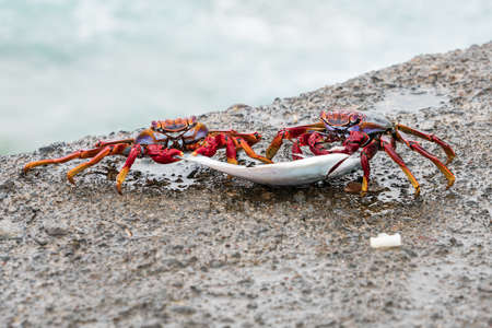 Two red stone crabs (Grapsus adscensionis) drag a dead fish. Canary Islands. Tenerife. Spain.
