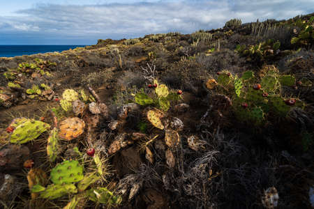 Cacti on the rocky plateau of Cape Teno. Tenerife. Canary Islands. Spain.
