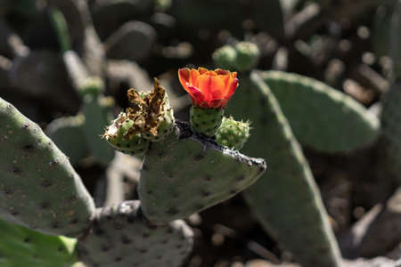 Flowers of a cactus in the nature.