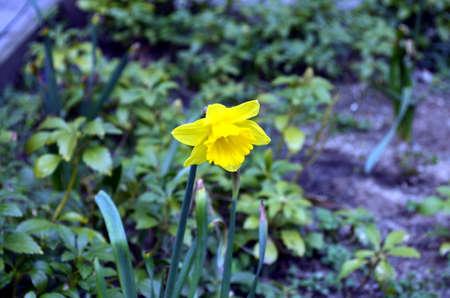 bluer: yellow Daffodils  in the garden in berlin