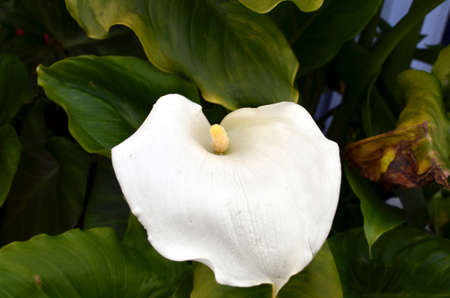 zorrillo: mofeta col blanca Primer del flor