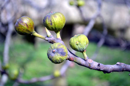 offshoot: bud of a fig closeup in springtime