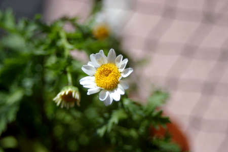 warmer: Marguerite is spring flower telling us winter is leaving and we have warmer times ahead.