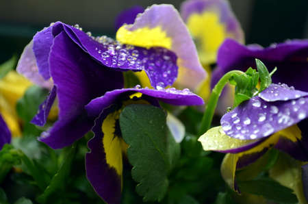 kropla deszczu: macro purple primrose with raindrop on leaves Zdjęcie Seryjne