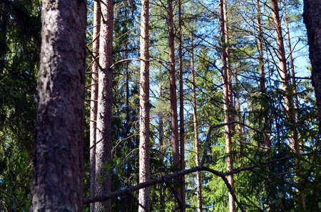 uplifting: finnish forest landscape in springtime with blue sky Stock Photo