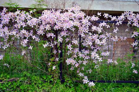 garden gate: pink clematis flowers climbing on garden gate