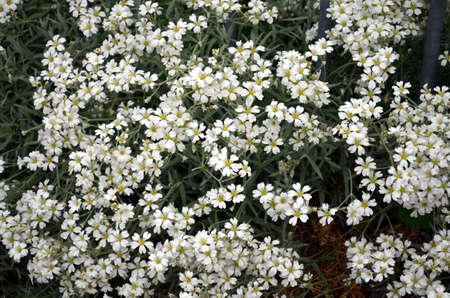 repens: white blossoms Gypsophila repens on a bush in springtime