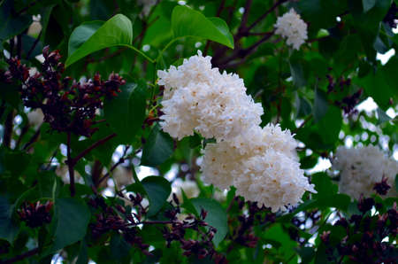 marquette: bunch of white lilac blossoms on a bush