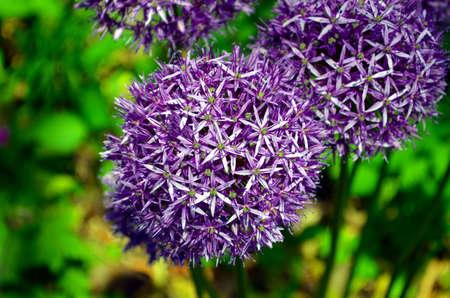 sensation: purple sensation flowers closeup in the garden