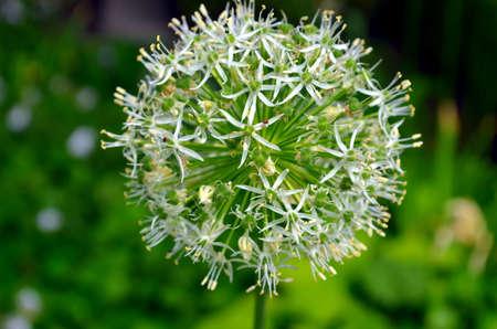 allium flower: Single allium flower with white head on a garden background