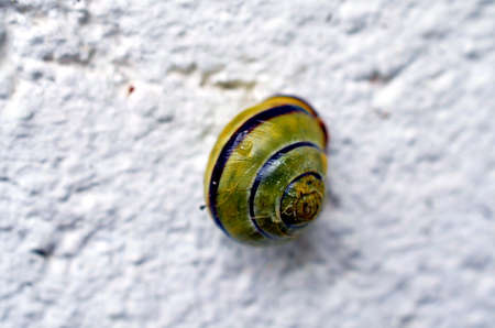 tardy: closeup of a vineyard snail on a white background