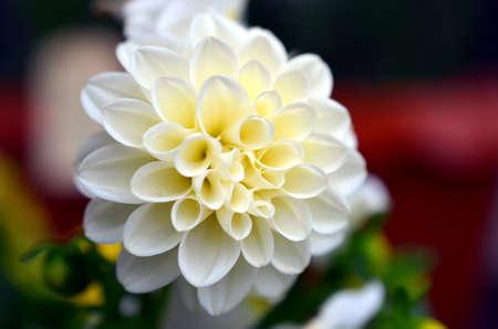 rainfall: white dahlia flower growing on a bush after rainfall