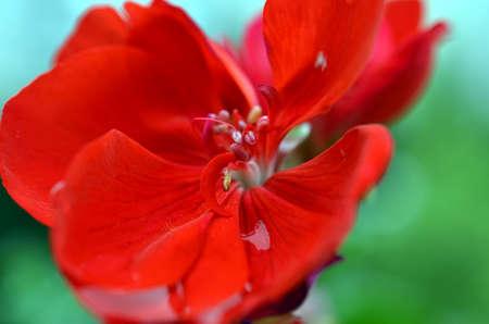 rainfall: closeup of geranium flowers and blossoms after rainfall Stock Photo
