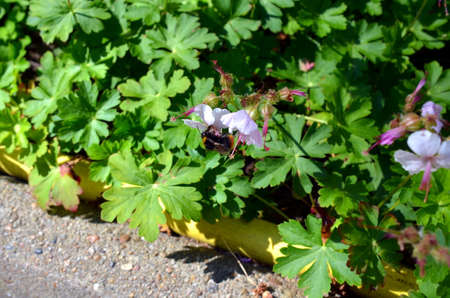 stamen wasp: bumblebee pollinates a blue weed plant in summer