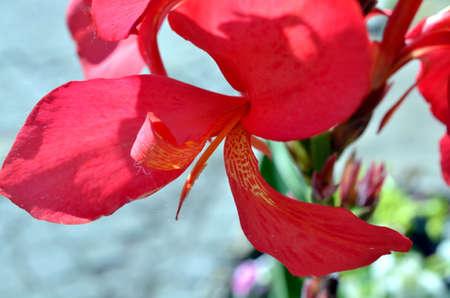 vermeil: deep red large flower blossom blooming in summertime